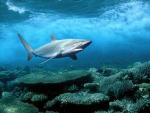 Ikan hiu biasa mencari makan di terumbu karang