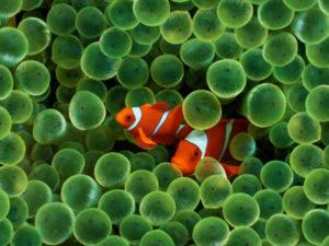 Ikan badut hewan khas penghuni terumbu karang